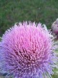 Flor de la alcachofa ningún filtro imagenes de archivo