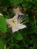 Flor de la alcaparra fotografía de archivo
