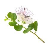 Flor de la alcaparra imagenes de archivo