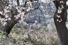 Flor de la almendra Fotografía de archivo libre de regalías