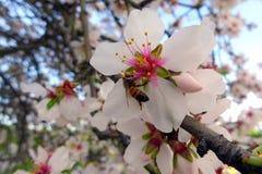 Flor de la almendra Foto de archivo libre de regalías