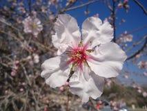 Flor de la almendra Imagen de archivo