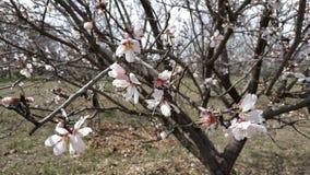 Flor de la almendra en primavera fotos de archivo