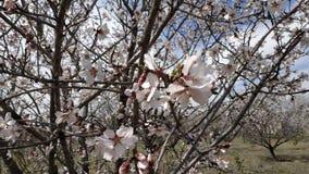 Flor de la almendra en primavera imagen de archivo
