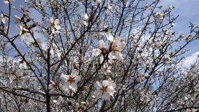 Flor de la almendra en primavera imágenes de archivo libres de regalías