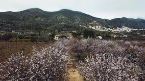 Flor de la almendra en la provincia de Alicante en febrero de 2018 españa metrajes