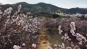 Flor de la almendra en la provincia de Alicante en febrero de 2018 españa almacen de video