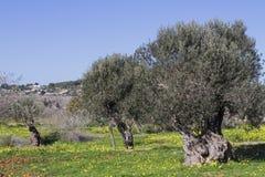 Flor de la almendra, Ibiza, España Foto de archivo libre de regalías