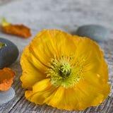 Flor de la amapola Imágenes de archivo libres de regalías