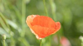 Flor de la amapola almacen de metraje de vídeo