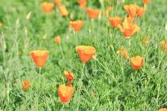 Flor de la amapola Fotos de archivo libres de regalías