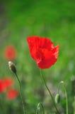 Flor 2 de la amapola Fotos de archivo
