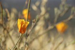 Flor de la amapola Foto de archivo