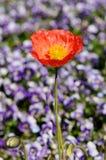 Flor de la amapola Fotos de archivo