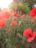 Flor de la amapola archivada en el verano imagenes de archivo