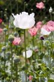 Flor de la amapola blanca Imagenes de archivo