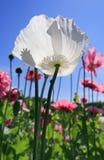 Flor de la amapola blanca Imagen de archivo libre de regalías