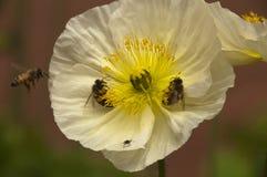 Flor de la amapola blanca con tres abejas e insectos Foto de archivo libre de regalías