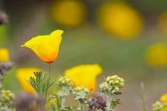 Flor de la amapola de California, variedad costera Imagen de archivo libre de regalías