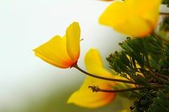Flor de la amapola de California, variedad costera Foto de archivo libre de regalías