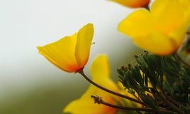 Flor de la amapola de California, variedad costera Imágenes de archivo libres de regalías