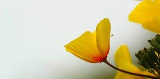 Flor de la amapola de California, variedad costera Fotografía de archivo libre de regalías