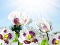 Flor de la amapola con las abejas Foto de archivo libre de regalías