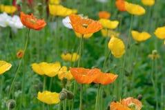 Flor de la amapola de opio Fotos de archivo