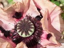 Flor de la amapola del Papaver Fotografía de archivo libre de regalías