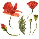 Flor de la amapola del Wildflower en un estilo de la acuarela aislada Foto de archivo libre de regalías