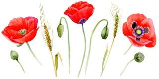 Flor de la amapola del Wildflower en un estilo de la acuarela aislada Imagenes de archivo