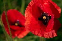 Flor de la amapola en campo Foto de archivo
