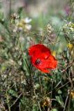 Flor de la amapola en el campo fotografía de archivo
