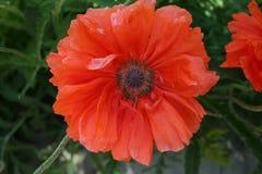 Flor de la amapola en el jardín de la primavera Fotografía de archivo