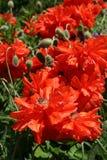 Flor de la amapola en el jardín de la primavera Fotografía de archivo libre de regalías