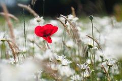 Flor de la amapola en el mar del blanco imágenes de archivo libres de regalías