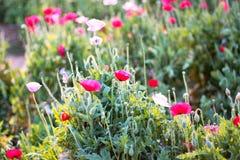 Flor de la amapola en el prado Imagen de archivo libre de regalías