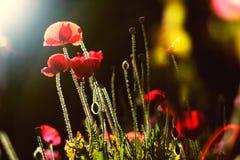 Flor de la amapola en el prado Fotografía de archivo libre de regalías