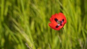 Flor de la amapola en el viento