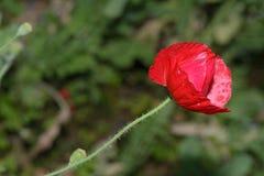 Flor de la amapola en fondo verde Fotografía de archivo libre de regalías