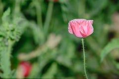 Flor de la amapola en fondo verde Foto de archivo libre de regalías