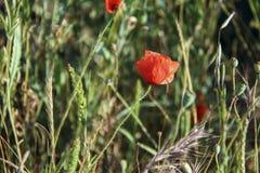 Flor de la amapola en la hierba Foto de archivo libre de regalías