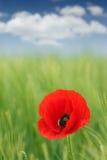 Flor de la amapola en la primavera verde del prado Imagen de archivo libre de regalías