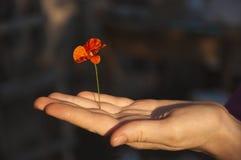 Flor de la amapola en mano femenina Fotos de archivo libres de regalías