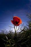 Flor de la amapola en prado Fotos de archivo