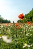 Flor de la amapola en un prado verde Fotografía de archivo libre de regalías