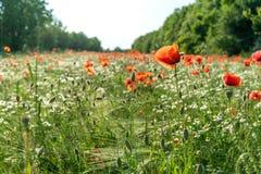 Flor de la amapola en un prado verde Foto de archivo