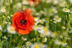 Flor de la amapola en un prado verde Imágenes de archivo libres de regalías