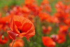 Flor de la amapola enfocada Fotografía de archivo libre de regalías