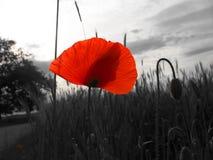 Flor de la amapola (Papaver) Fotos de archivo libres de regalías